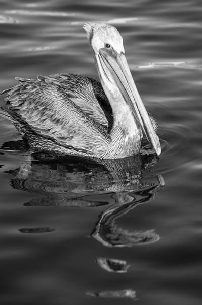 Brown Pelican Reflection BW, San Pedro, California
