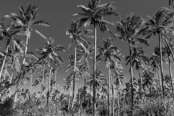 Coconut Palm Tree Grove BW, Taveuni, Fiji