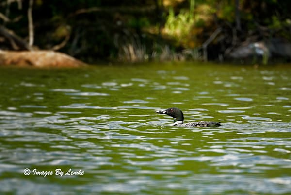 Loon Checking Me Out