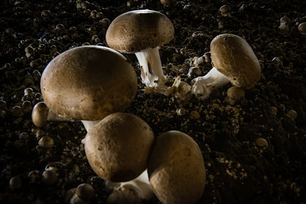 Portabella Mushrooms Fine Art Photograph | JustBob Images