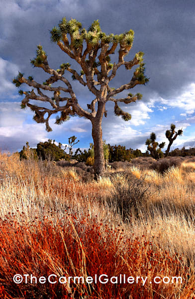 Joshua Tree Art | The Carmel Gallery