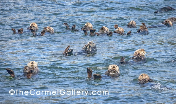 Sea Otter Swim Art | The Carmel Gallery