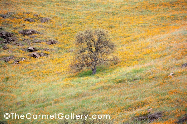 Lone Oak and Poppies II
