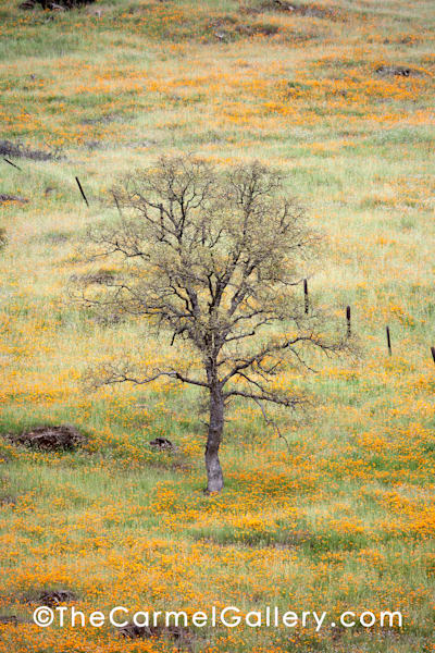 Lone Oak and Poppies