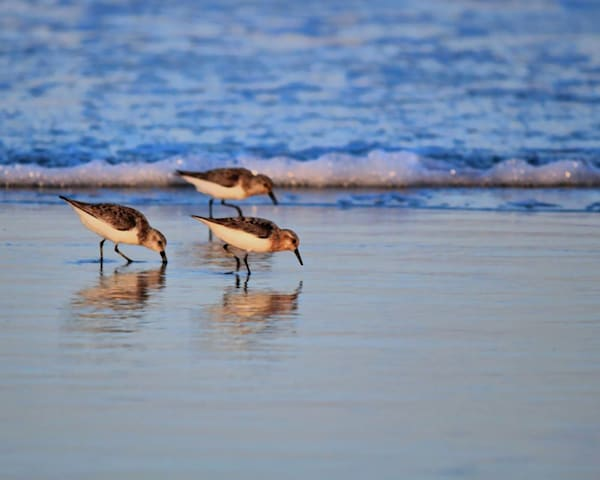 Sandpiper Trio by John Feiser a photographer.