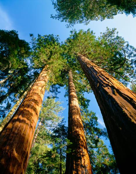 Giant Sequoia trees in Mariposa Grove