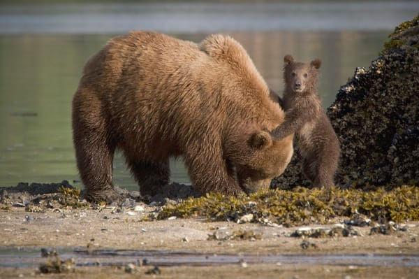 "Grizzly cub holding onto ""moms"" head, Alaska"