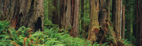 Redwood tree forest in Prairie Creek Redwoods State Park in northern California