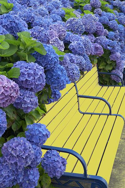 Blue Bonnet Hydrangea Bench
