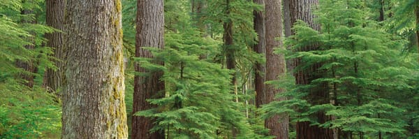 Fine art print of a lush temperate rainforest in Olympic National Park