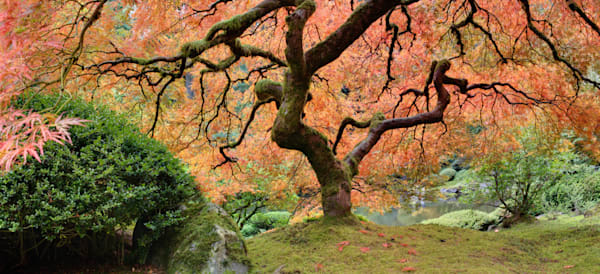 Old Japanese Maple Tree in Fall Panorama - DPC_36389597