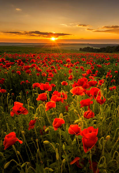 Poppy field at sunset - DPC_68475473