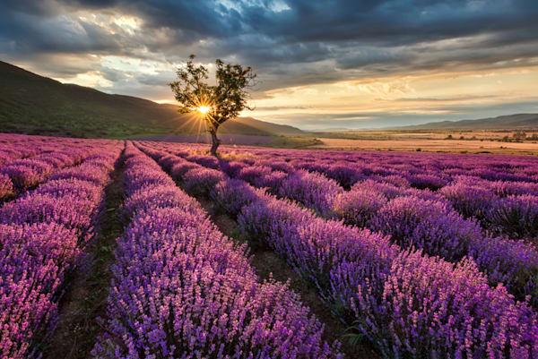 Lavender Landscape - DPC_67085325