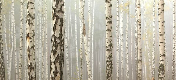 Birch Panorama - DPC_92277153