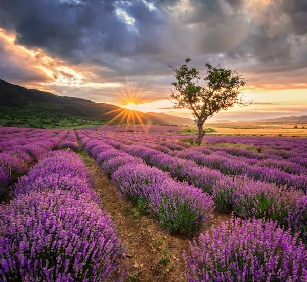 Lavender field at sunrise - DPC_89563876