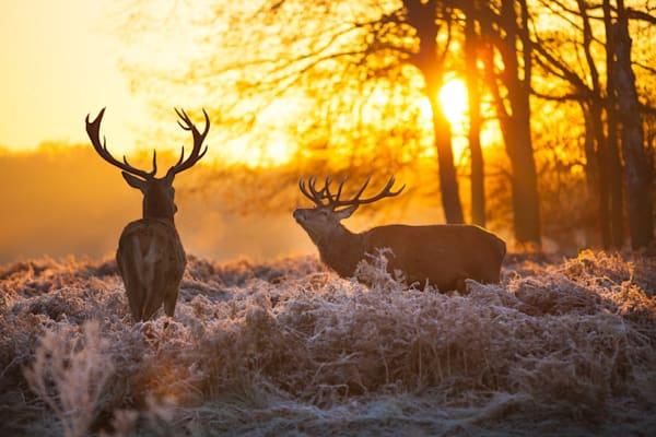Deer at Sunrise III - DPC_47402410