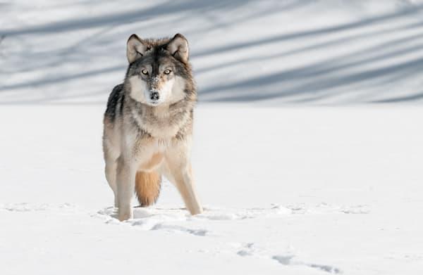 Grey Wolf Stare - DPC_51699634