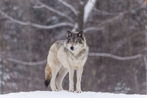 Timber Wolf I - DPC_78184934