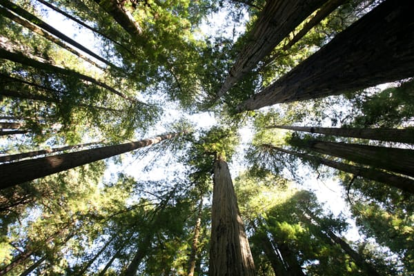 Redwoods, CHRBLI85683