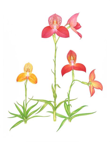 Disa Uniflora