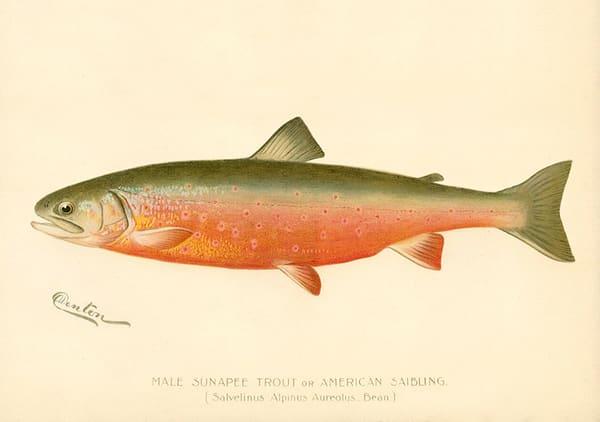 Male Sunapee Trout - AL-PRIPUB130875