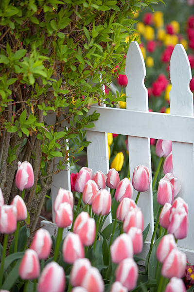 Tulips by the White Picket Fence