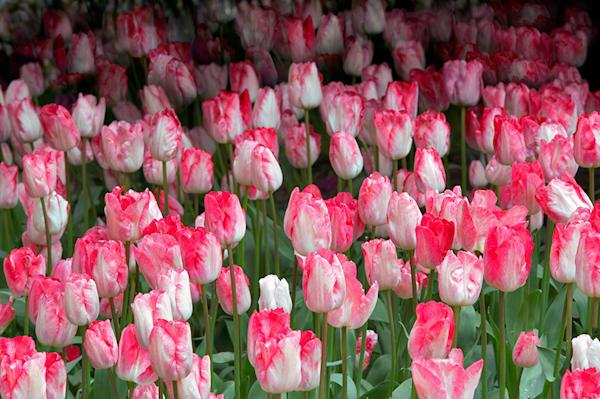 Garden Rhapsody Tulip