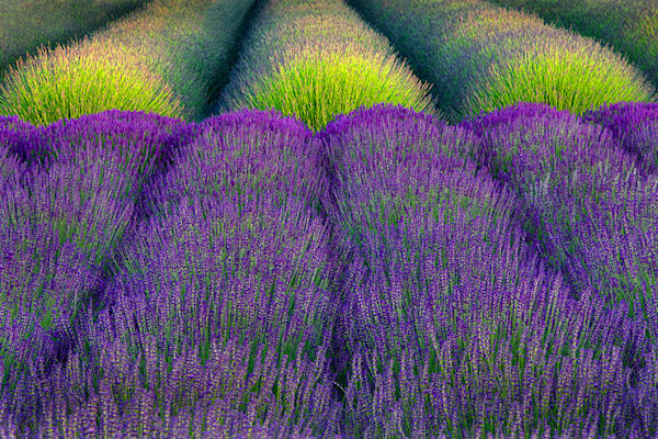 Angels Lavender Farm