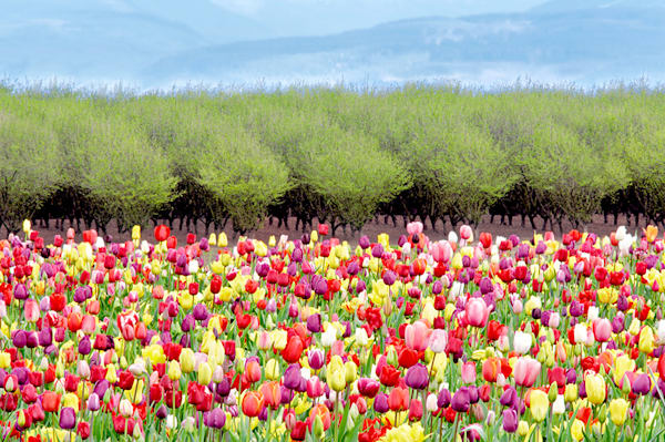Spring Tulips Art | Fine Art New Mexico