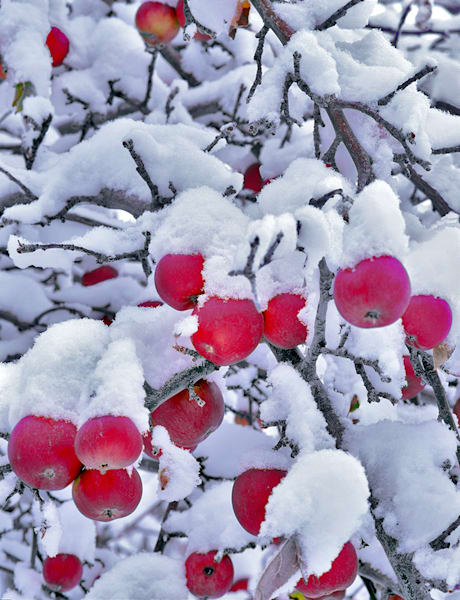 Winter Apples Art | Fine Art New Mexico