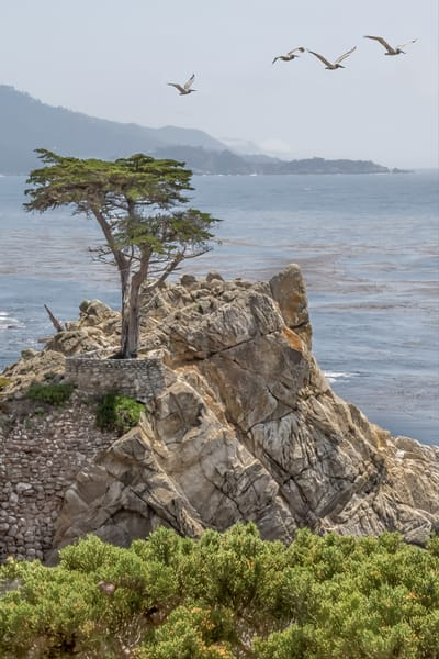 Lone Cypress with Pelicans 2