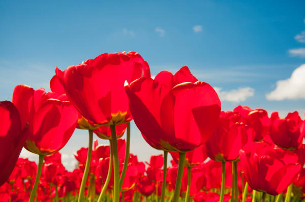 Fine art print of red tulips, Skagit Valley, flowers