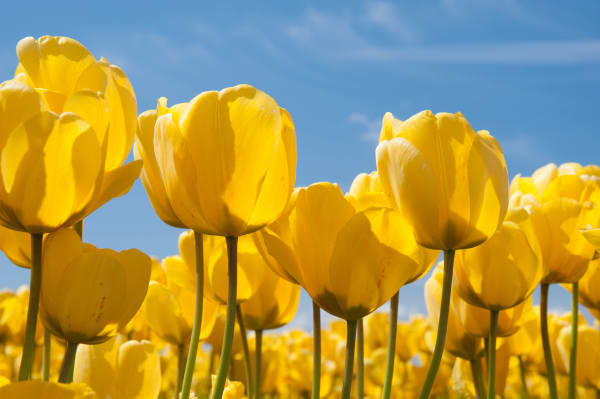 Fine art print of yellow tulips, Skagit Vally, flowers