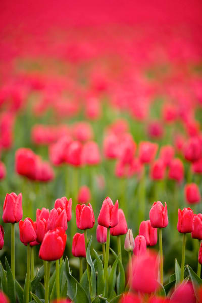 Red tulips in the Skagit Valley of Washington