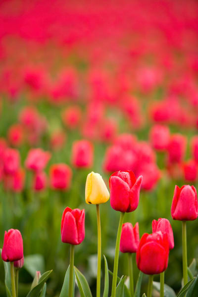 red tulips, Skagit Valley, flowers