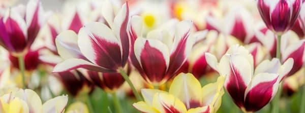 Spring Tulip Floral