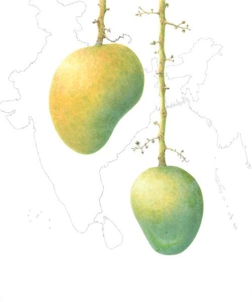Mangifera indica 'Alphonso'