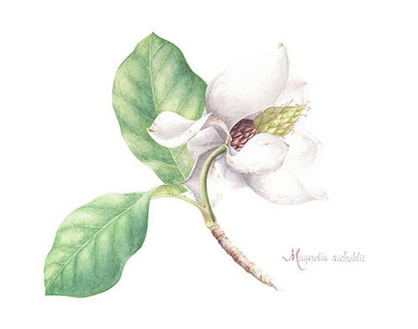 Magnolia siebildii