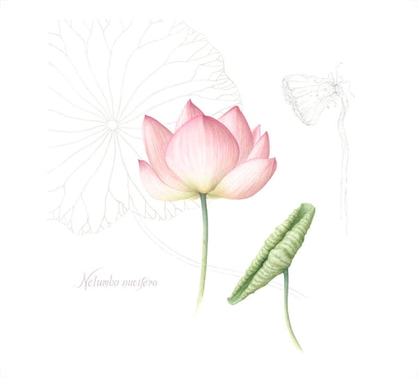 Pink Lotus Art | Hillary Parker Watercolors