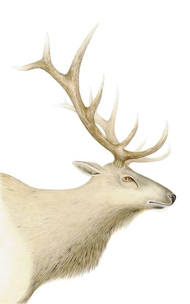 Elk Art | Hillary Parker Watercolors