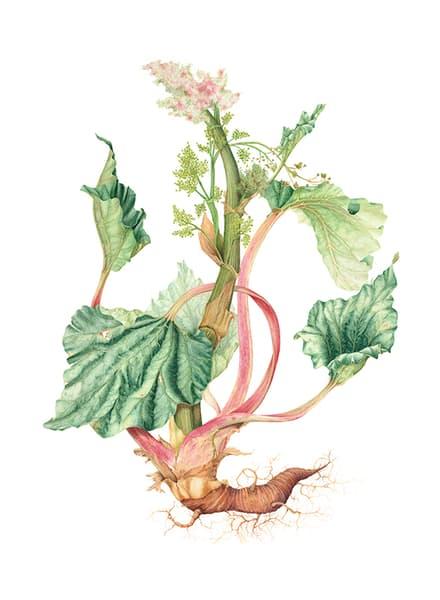 Rhubarb (Rheum rhabarum)