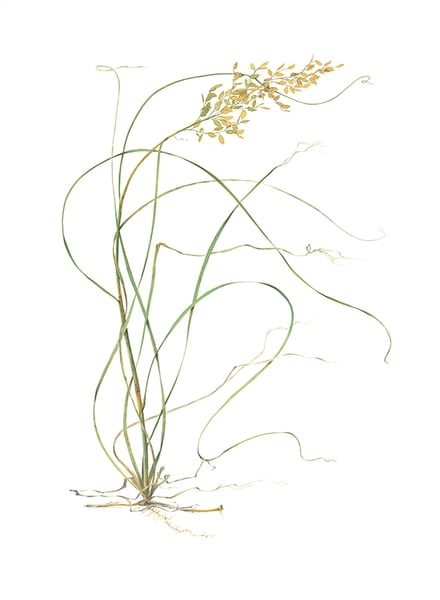Sea Oats (Uniola Paniculata) Art | Hillary Parker Watercolors