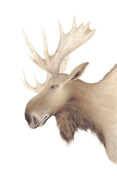 Moose Art | Hillary Parker Watercolors