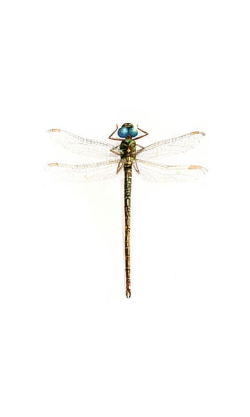 Dragonfly Regal Darner
