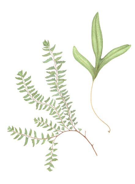 Maidenhair Fern And Wart Fern Art | Hillary Parker Watercolors