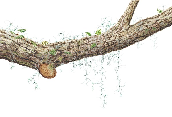 Quercus Virginiana Art | Hillary Parker Watercolors