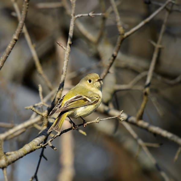 Golden-crowned Kinglet