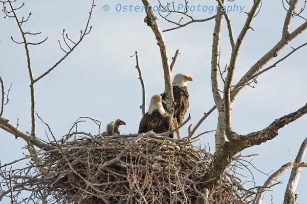 Bald eagles,eaglets,south fork snake river,sunsets,idaho