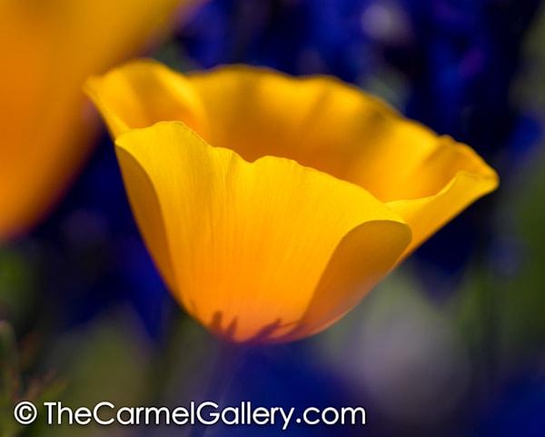Poppies I Art | The Carmel Gallery