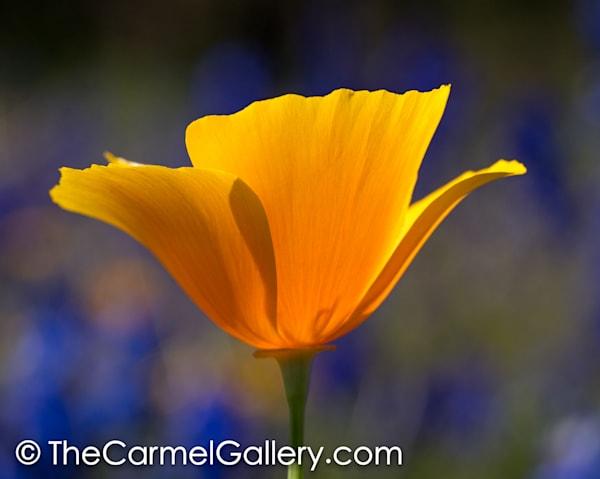 Poppies Iii Art | The Carmel Gallery